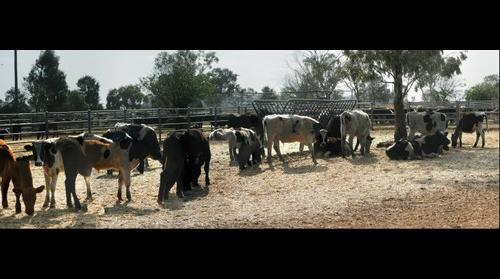 Mixed Breeds at Dubbo Saleyards