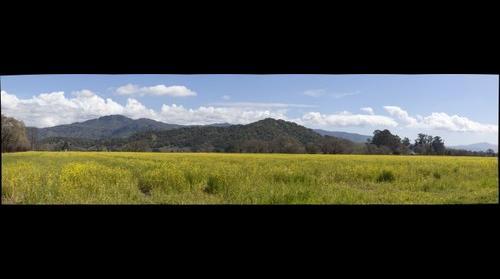 Mustard Field, Yountville, Napa Valley