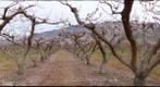 Apricot orchard in bloom, Osoyoos, BC