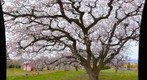 Old apricot tree in bloom,  Osoyoos, BC