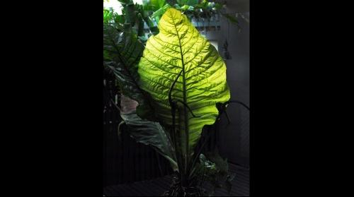 Giant King Plant