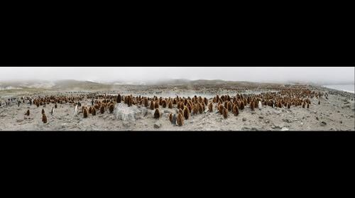 King Penguins at St Andrews Bay, South Georgia