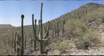 Saguaros with Fruit, Looking South from Tumamoc Road