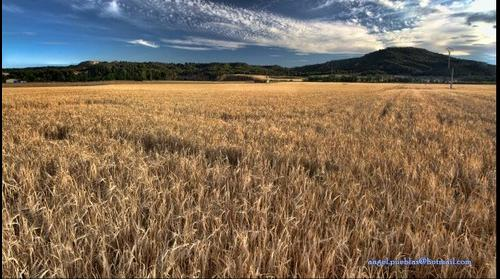 Campo de trigo en Alcalá