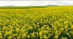 Mustard field in Bloom near Milk River, Albert