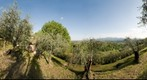 Olive grove with overview on Lucca, Italy