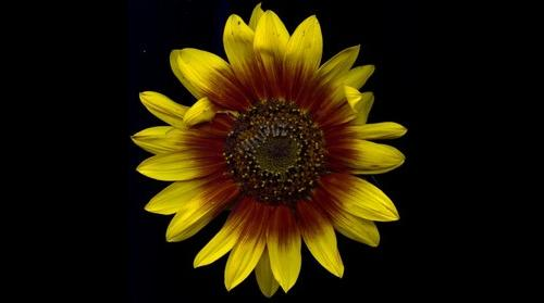 Helianthus annuus / Sunflower