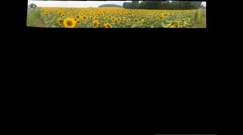 Sunflower Panorama2
