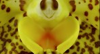 Exotic Orchid: Ascda Kirk-Hoo Yellow Dragon Bloom Close-Up