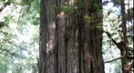 Ancient redwood tree in the Valley of the Lost Groves
