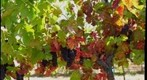 Concannon Grapes