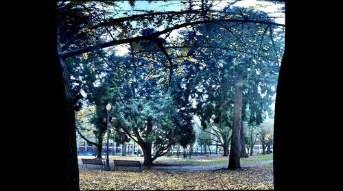 Cedars and Gingkos