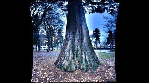 Holladay Park, Sequoiadendron giganteum