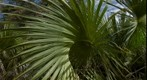 Palm Fan