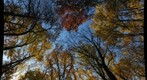 Fall Forest Canopy