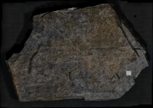 Keyser Limestone
