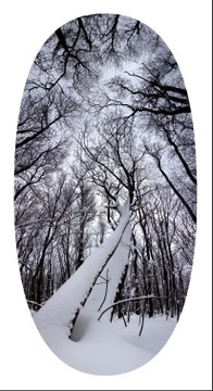 Two trees laden with snow, Laurel Ridge State Park