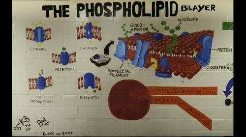Phospholipid Layer