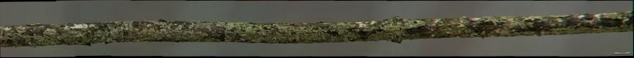 Cornus mas (3D)