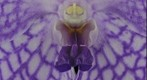 Fine Art Orchid Print: Vanda Charlene Atkins, Bloom Close-up