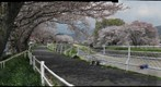 Sakura at NagaoRiver
