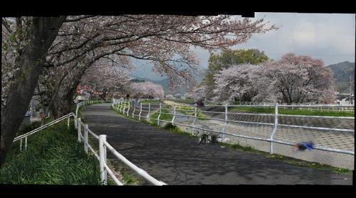 Sakura at NagaoRiver