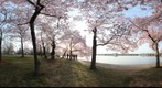 DC Cherry Blossoms - Tidal Basin near the Japanese Stone Lantern