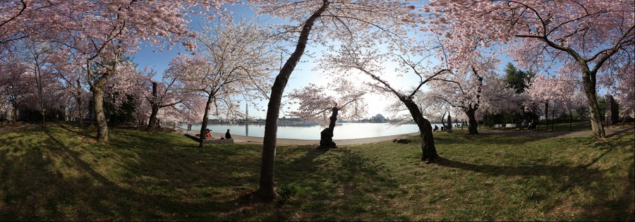 DC Cherry Blossoms - Tidal Basin near the Japanese Pagoda