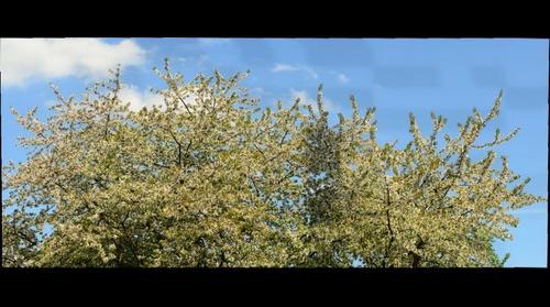 Cherrie blossom