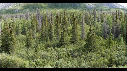 Boreal forest habitat, Kluane National Park, Yukon, Canada