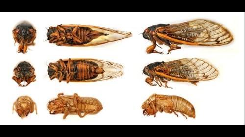 Explore the Cicada (Female, Male, Nymph), Magicicada septendecim (Linnaeus, 1758)