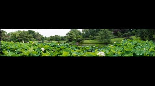 Lotus Flowers in Missouri Botanical