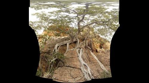 Ficus in Africa