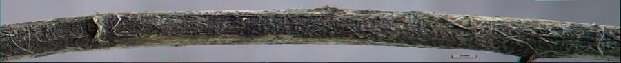 Orbilia flavidorosella (3D anaglyph)