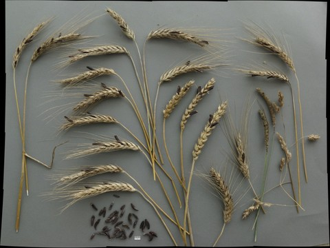 Claviceps purpurea on cereals and grasses