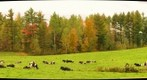Autumn - Farm cows