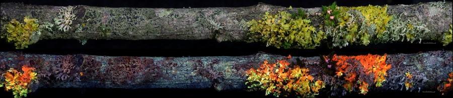 Lichens on Willow