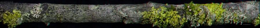 Lichens on Willow (3D)
