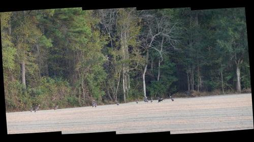 Wild Turkeys in field near Nichols, SC US