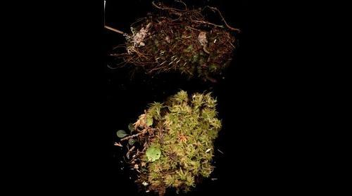 Sphagnum sp, Mitella nuda