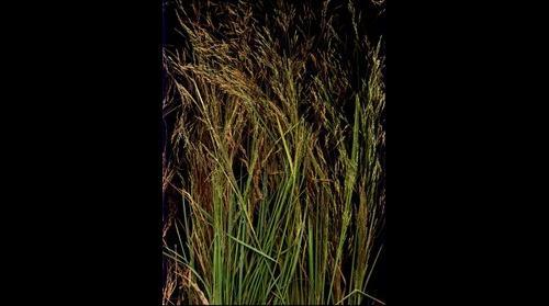 Mystery Lake Grass