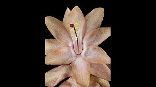 Fine Art Print: Christmas Cactus Bloom Close Up