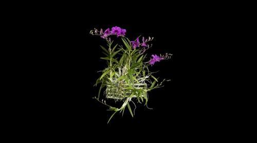 Fine Art Orchid Print: Dendrobium Compactum Plant