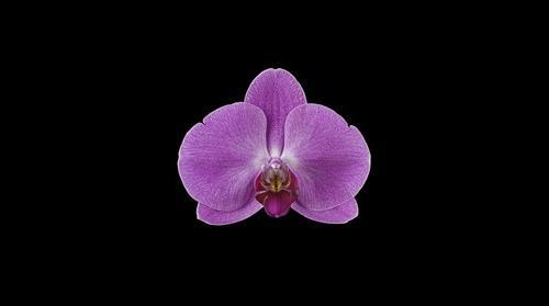 Fine Art Orchid Print Phalaenopsis Hybrid Bloom