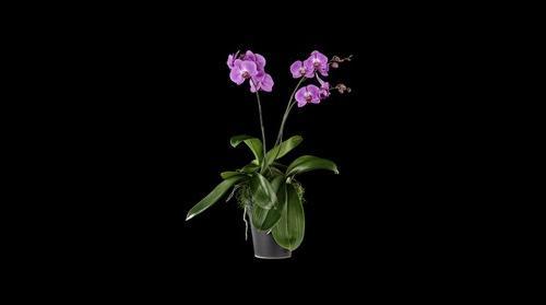 Fine Art Orchid Print Phalaenopsis Hybrid Plant