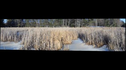 Cattails Parson Pond 1 March24 2014