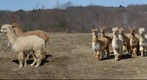 Alpacas/Llama in the Winter