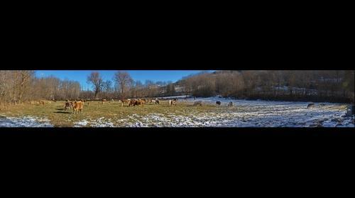 Vacas en el campo, Queixans (20131208)