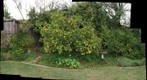090124 backyard citrus trees etc autostitch