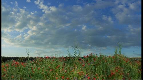 Poppies on the edge of the day